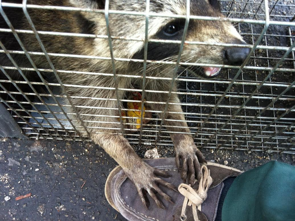 Raccoons Removal Blog